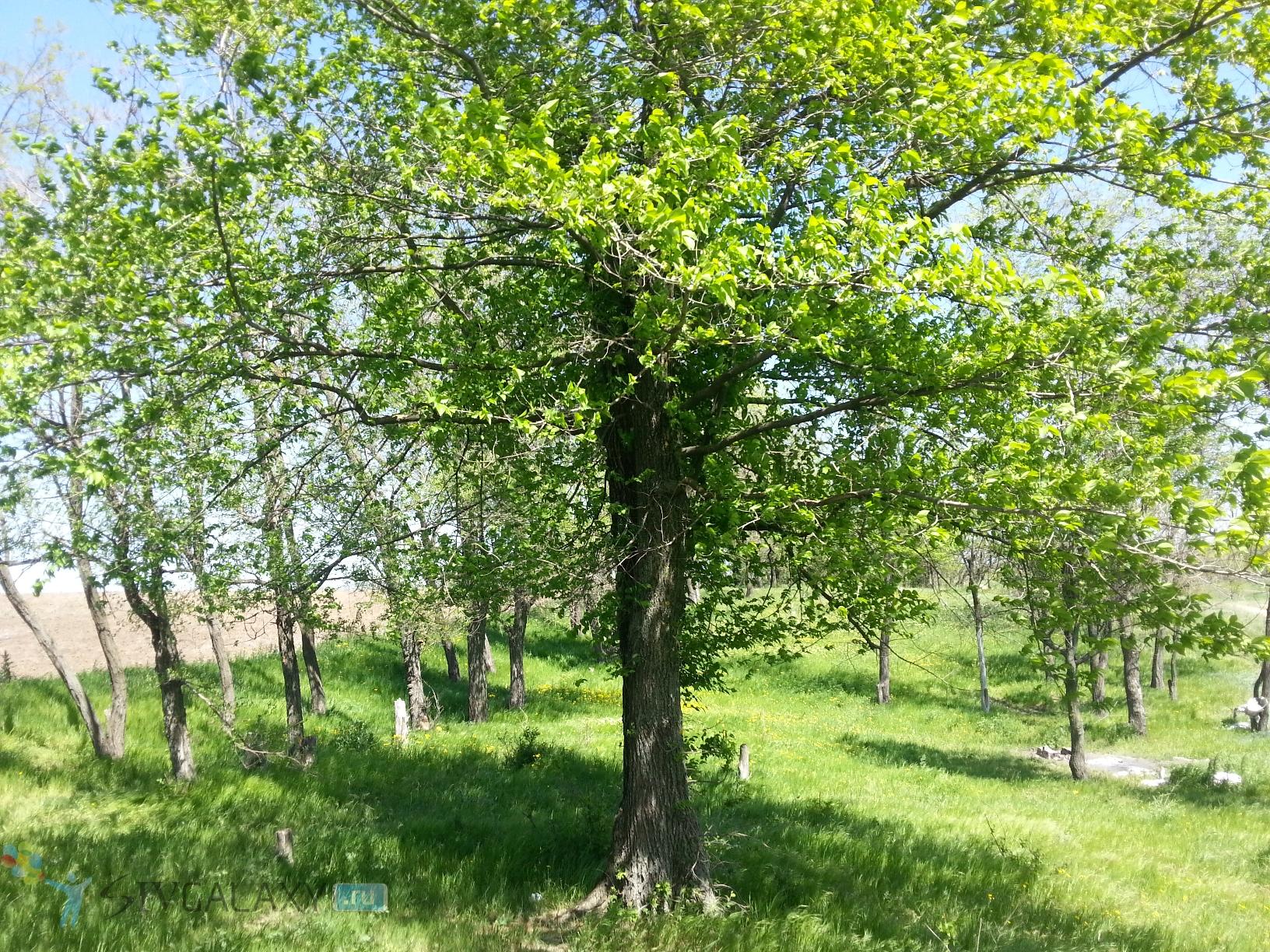 Фото с камеры Samsung Galaxy S3 - дерево